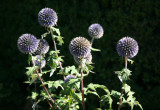 Thistle Blossoms - Home Gardens