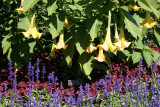 Brugmansia or Angel Trumpets - Conservatory Gardens