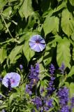 Morning Glories - Conservatory Gardens