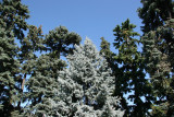 Blue Spruce & Connifers - Conservatory Gardens