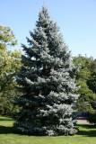 Blue Spruce - Conservatory Gardens
