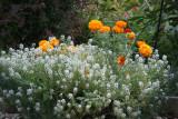 Alyssum & Marigolds