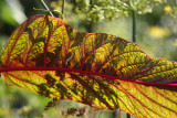 Amaranthus Foliage - Liz Christy Garden