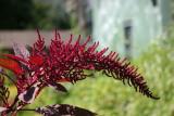 Amaranthus - Liz Christy Garden