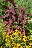 Amaranthus & Blackeyed Susans - Liz Christy Garden
