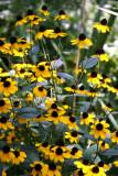 Blackeyed Susans - Liz Christy Garden