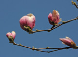 Magnolia Tree Blossoms