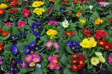 Primroses - Flower Market