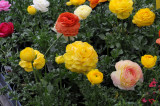 Ranunculus - Flower Market