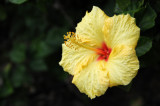 Hibiscus Blossom at San Diego County Building Garden