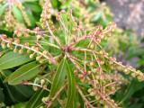 Pieris Flower Buds