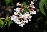 Weigela Blossoms