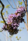 Empress Tree or Paulownia tomentosa