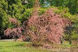 Tamarisk Tree in Bloom