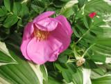 Pink Rugosa Rose & Hosta