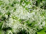 Fringe Tree Blossoms