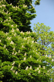 Horse Chestnut Tree Blossoms