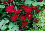 Red Carnations or Diathus