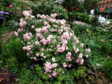 Ballerina Roses