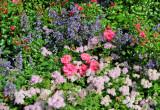 Roses, Calamintha & Spirea