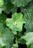 Alchemilla - Lady's Mantle