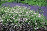 Spirea, Salvia Blossoms & Corel Bell Foliage