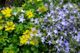 Yellow Sedum & Blue Unknown?