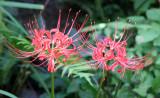 Nerine Blossoms