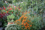 Garden View - Chrysanthemums & Salvia