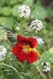 Nasturtium or Tropaeolum & Alyssum