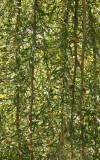 Caragana arborescens - 'Walker' Weeping Siberian Pea Shrub