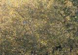 Sycamore Foliage