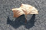 Sycamore Leaf & Shadow