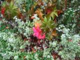 Begonia & Unknown Silver Foliage