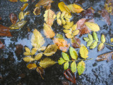 Mostly Golden Rain Tree Foliage in a Puddle