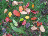 Mostly Prunus Tree Foliage on a Bed of Grass