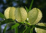 Gomphocarpus physocarpus 'Hairy Balls'