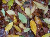 Mostly Elm Tree Sidewalk Foliage in the Rain