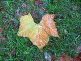 Rainy Day - Sycamore Leaf on Grass