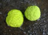 Osage Orange Seed Balls in a Rain Puddle