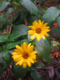 Rainy Day - Asters