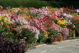 Conservatory Garden - Chrysanthemums