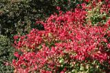 Conservatory Garden - Burning Bush