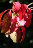 Conservatory Garden - Burning Bush Foliage