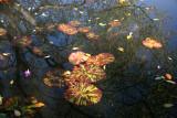Conservatory Lily Pond with Dogwood Tree Foliage & Reflection