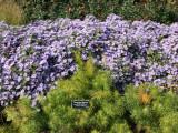 Amsonia hubrectii or Bluestar