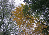 Elm Tree Golden Foliage