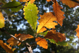Oak Tree Foliage