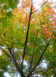 Maple Tree Foliage - Washington Square East
