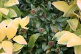 Skimmia & Hosta Foliage